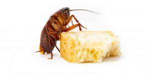 ALIMENTACIÓN DE LAS CUCARACHAS » Tipos de alimento y eliminación