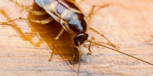 Cucaracha banda marrón